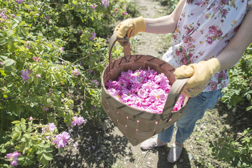 rose harvest in the south of france