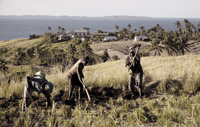 vetiver harvest in haiti