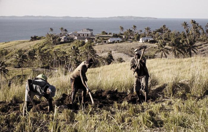 vetiver harvest in haiti